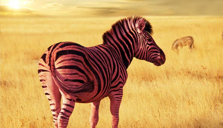 Pinkzebra in the savannah